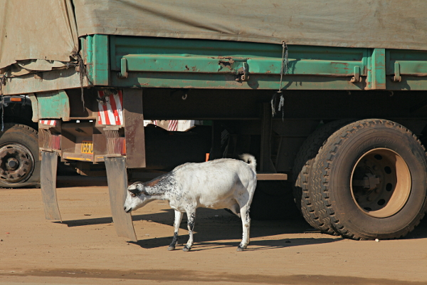 A Ugandan Goat grazing on the Kenyan site of the border