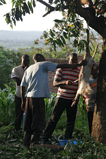 Butchering the Slaughtered shechted goat in Nabugoye, Uganda
